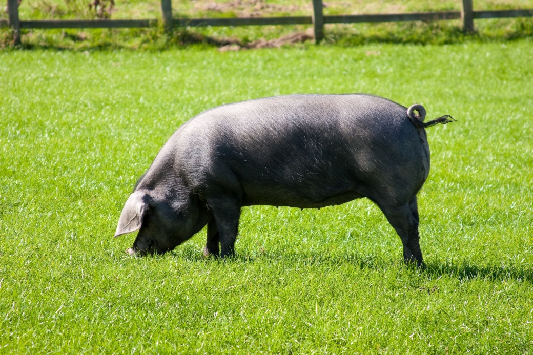 Cornish Black Pig Curly Tail